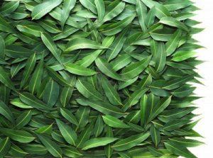 website-eucalyptus-leaves